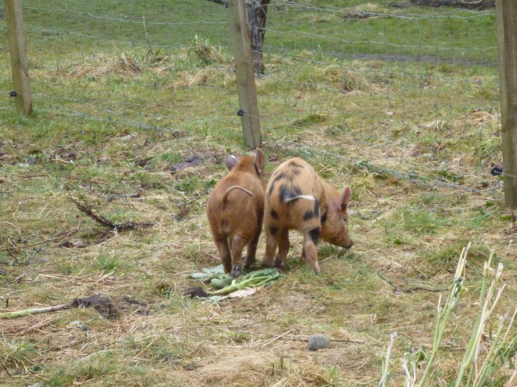 Deux nouveaux petits cochons