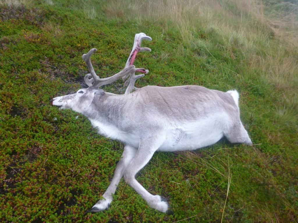 Un renne mort que l'on retrouvera mangé entièrement lors du retour.