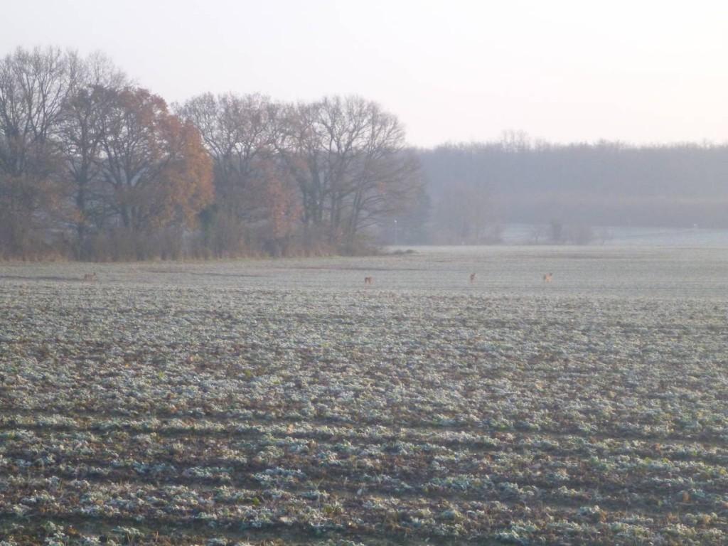 Quelques chevreuils dans un champ