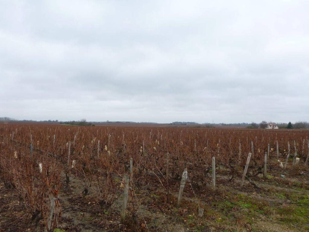 Les champs de vignes débutent