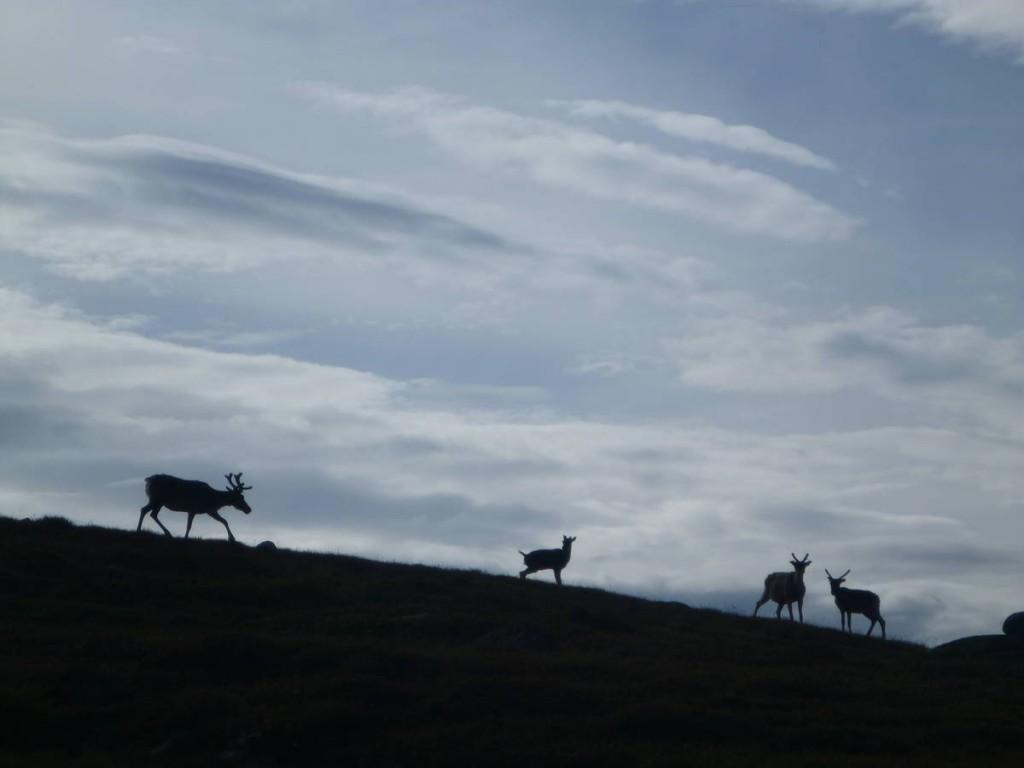 Les rennes font leurs apparitions