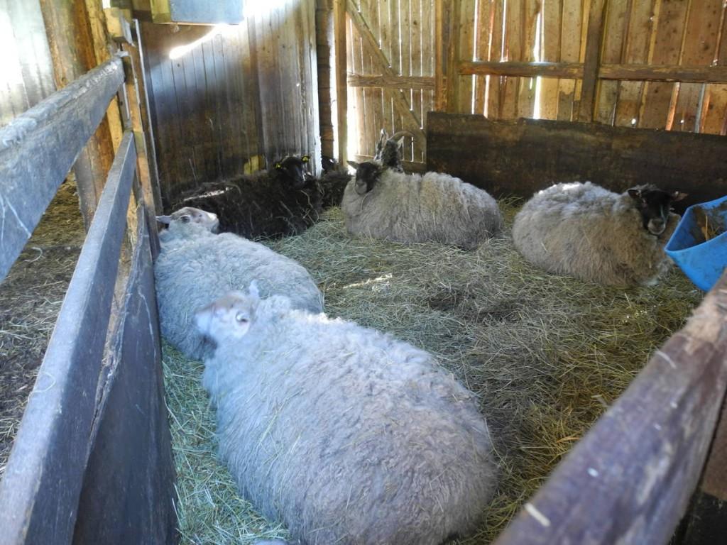 De sympathiques moutons