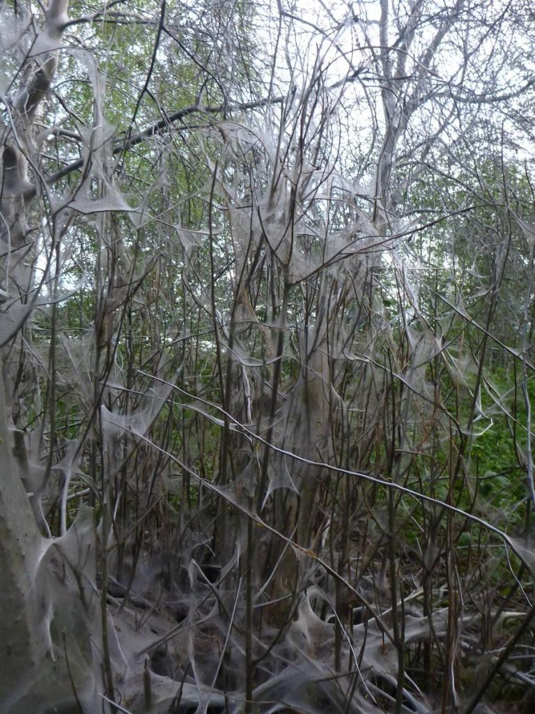 Des étranges phénomènes sur certains arbre : Ils sont tous recouvert de toiles