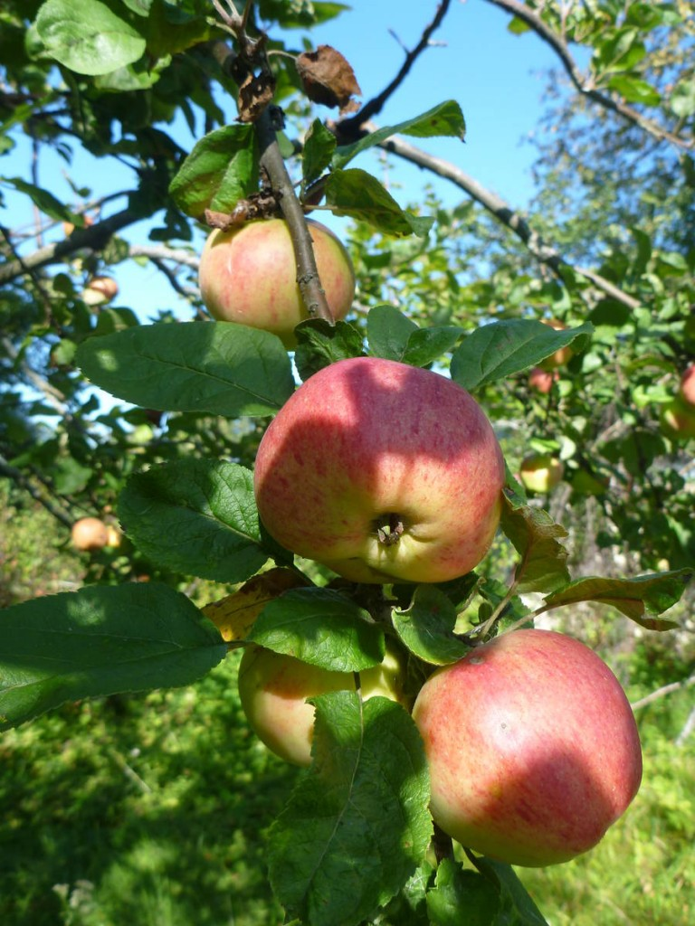 Mon régime alimentaire doit être constitué de bien la moitié en pommes