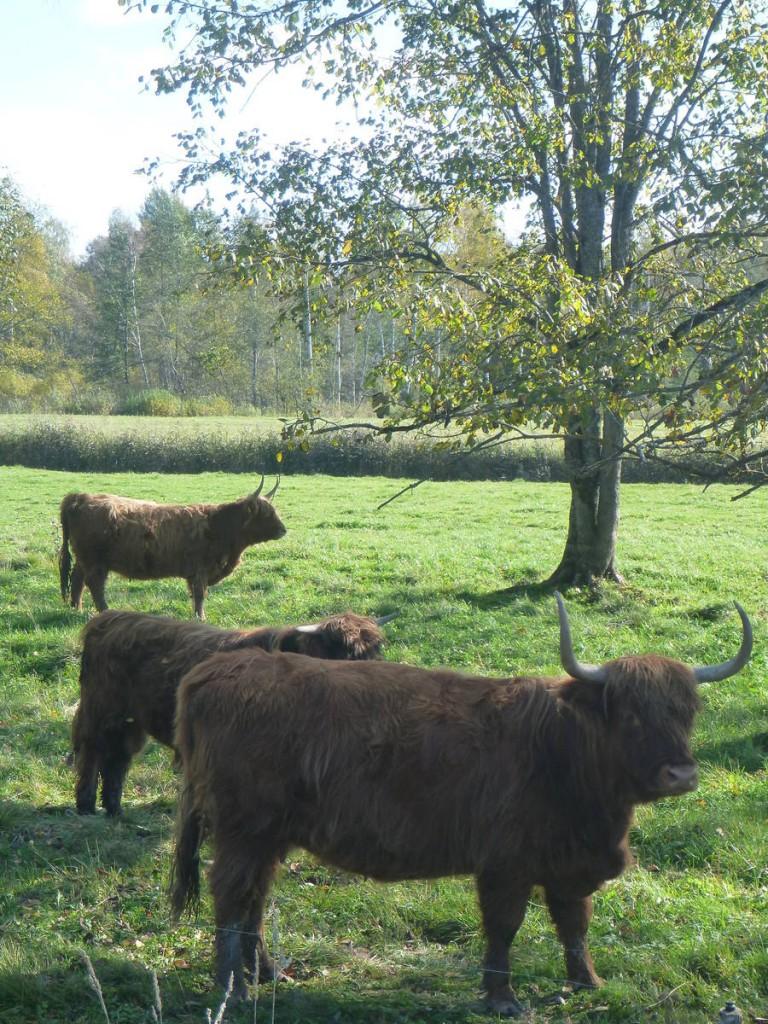 Tiens des vaches d'écosse