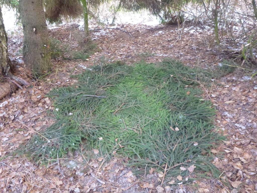 Un petit matelas d'isolation avec des branches de sapin avant de planter la tente dessus