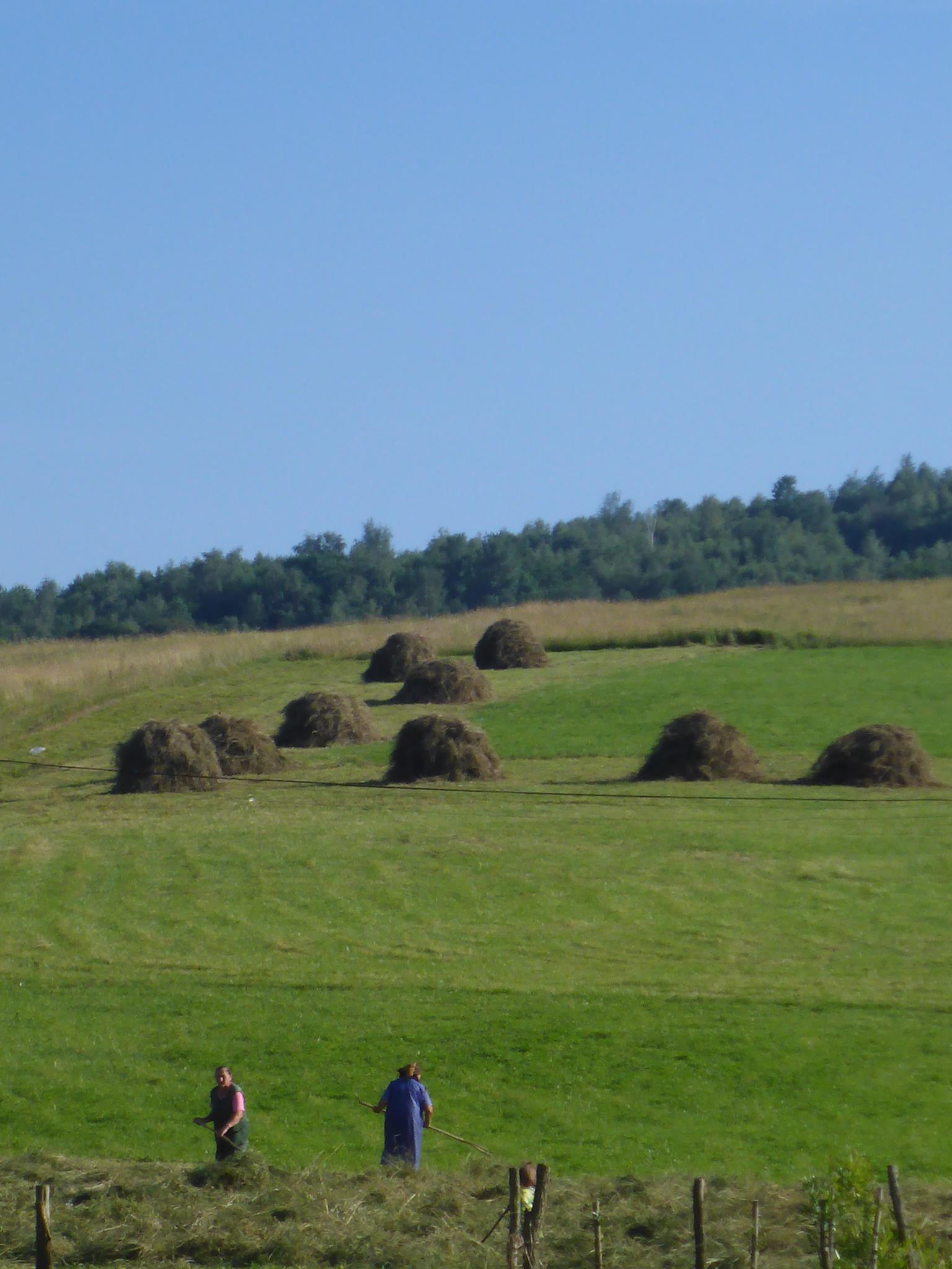 Les petites vieilles regroupant en de gros tas l'herbe coupée qui sera ensuite mise à sêcher sur de longs piquets en bois