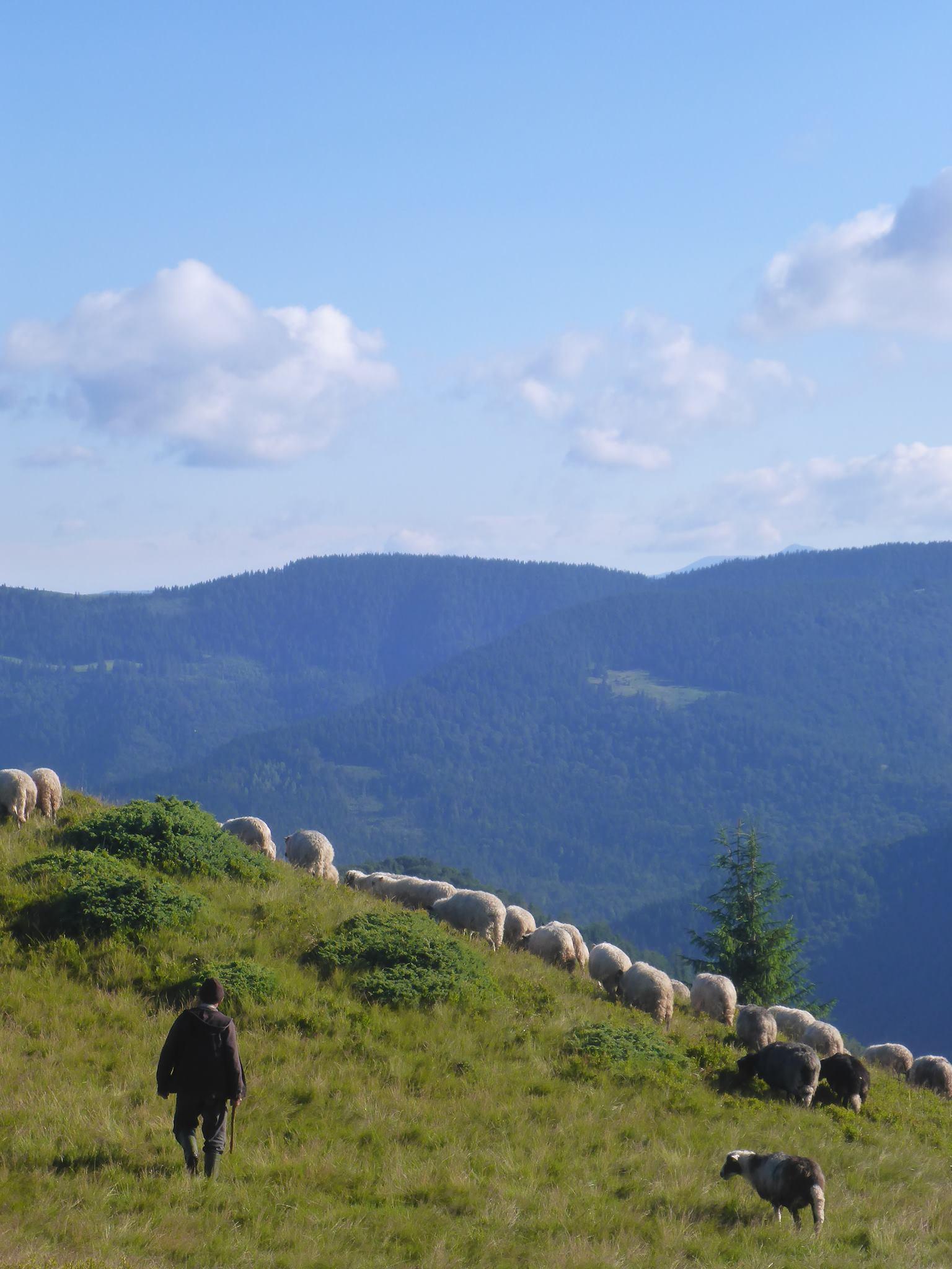 Un berger et son troupeau me réveillent au petit matin