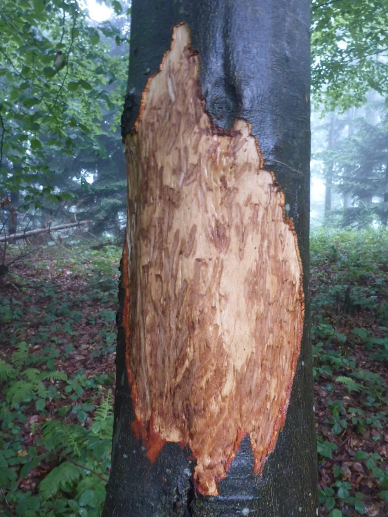 Sur un kilomètre dans une forêt je marche en rencontrant de partout des traces d'ours sur les troncs d'arbres