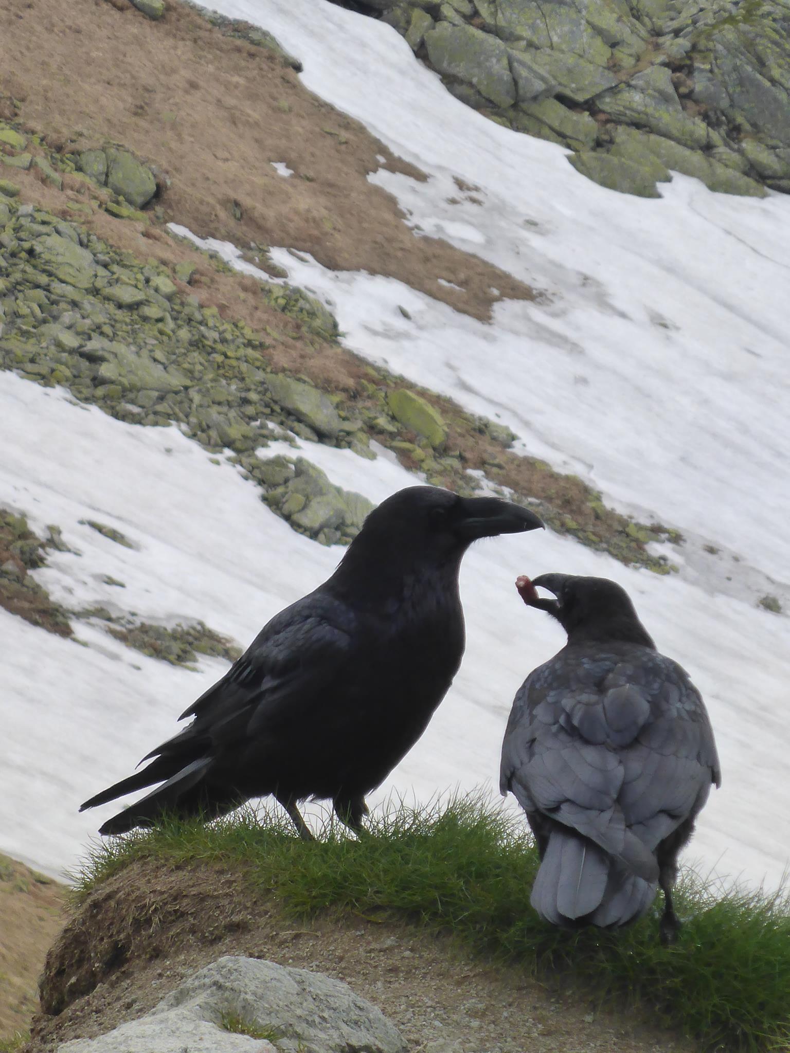 Un photographe attire des corbeaux avec des morceaux de saucisses. Ces derniers ne sont pas du tout farouches et viennent à moins de deux mètres de nous