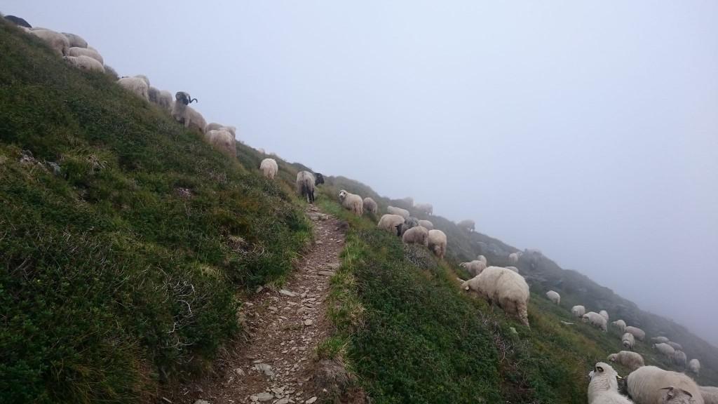 Les troupeaux de moutons sont un peu de partout. Les chiens de bergers sont très agressifs et il ne faut pas hésiter à les tenir à distance avec des pierres