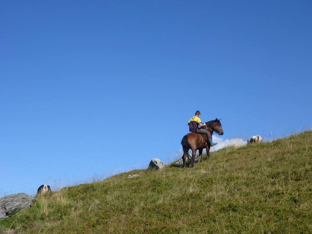 Un cavalier s'occupant de rammener deux vaches égarées. Sa dextérité sur son cheval est assez impressionante