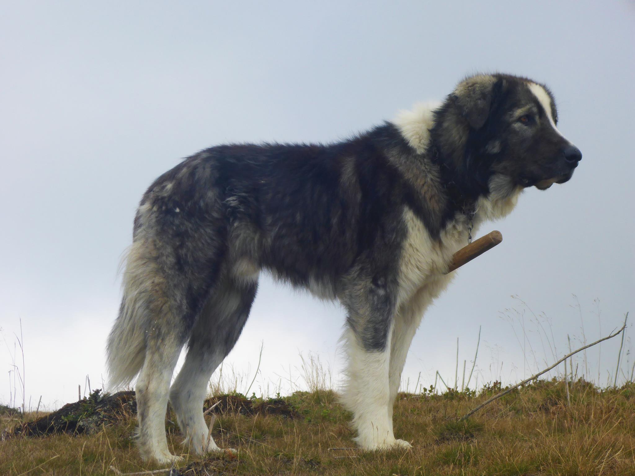 Un chien de berger. Le bâton à leur collier a comme utilité de les empêcher de courir