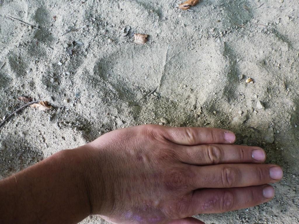 Après avoi croisé une belle merde d'ours bien fraiche nous trouvons les empreintes de se plantigrade deux cents mètres plus loin