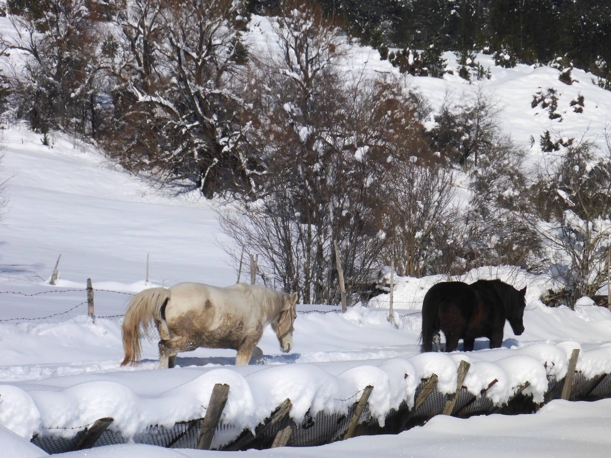 La neige n'est aucunement un obstacle pour les chevaux
