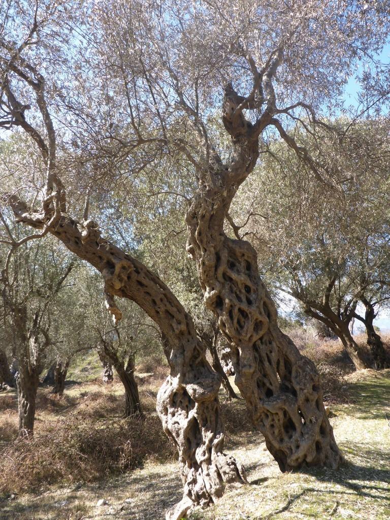 De magnifiques et imposants oliviers