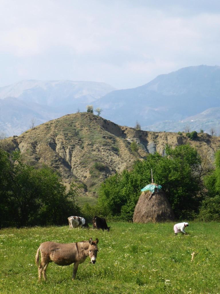 Un champs, un âne, une grand-mère courbée, deux vâches et une botte de foin. Beaucoup d'Albanie dans cette photo.
