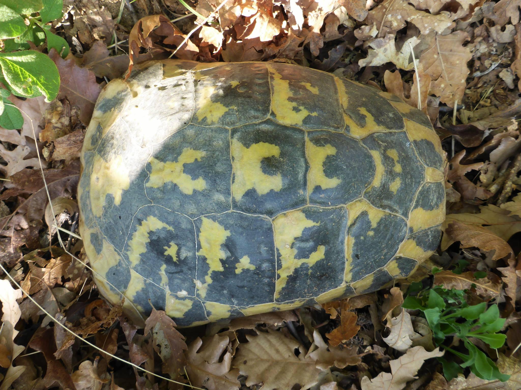 Je trouve une tortue dans les buissons. Voulant la porter celle-ci me chie littéralement dessus ! Un truc blanc bien gluant et puant