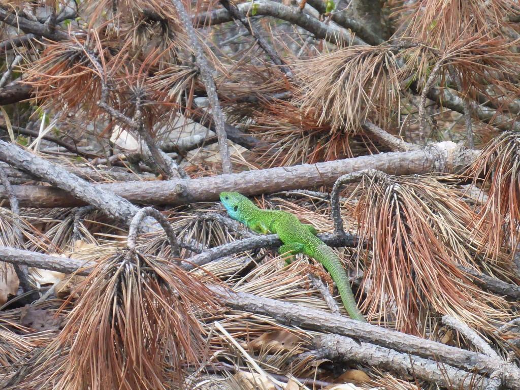 Le lézard vert, une magnifique créature que je n'avais encore jamais rencontré.