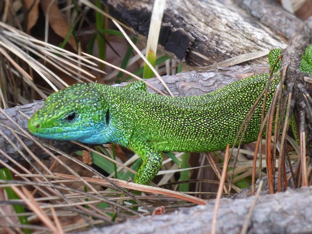 Le mâle se différencie par sa couleur verte et sa tache bleue sur le cou. Les femelles elles sont plus petites et de couleur grise.