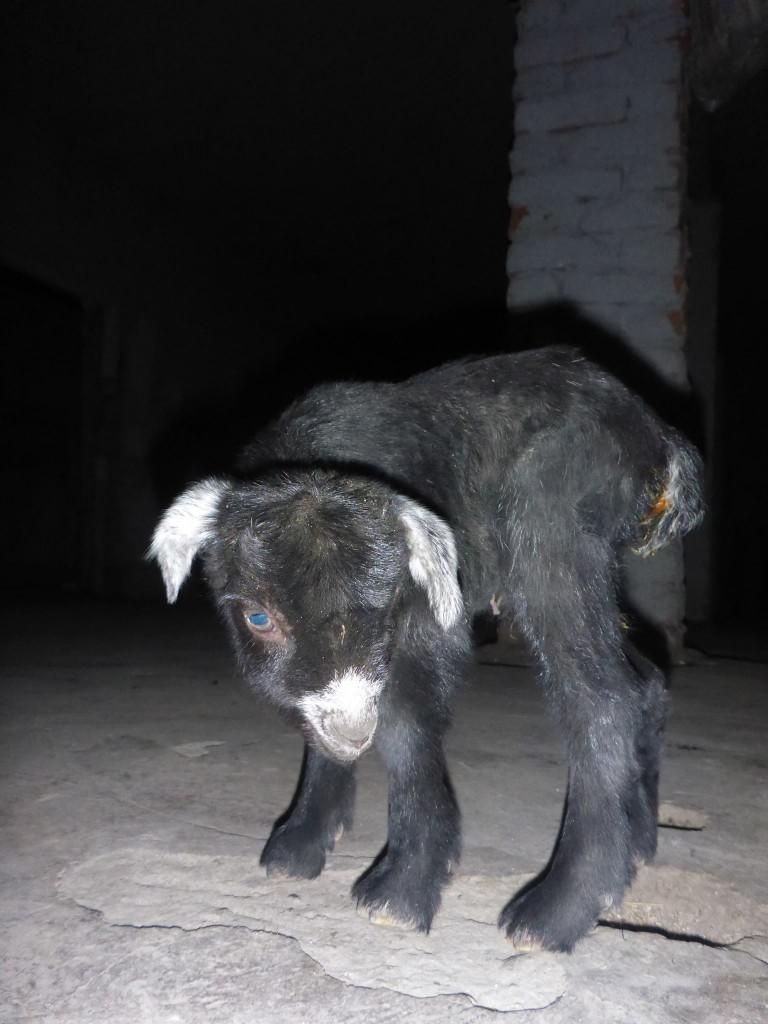 Une famille d'albanais m'invitent à passer la nuit chez eux. Un bébé mouton vient juste de naître.