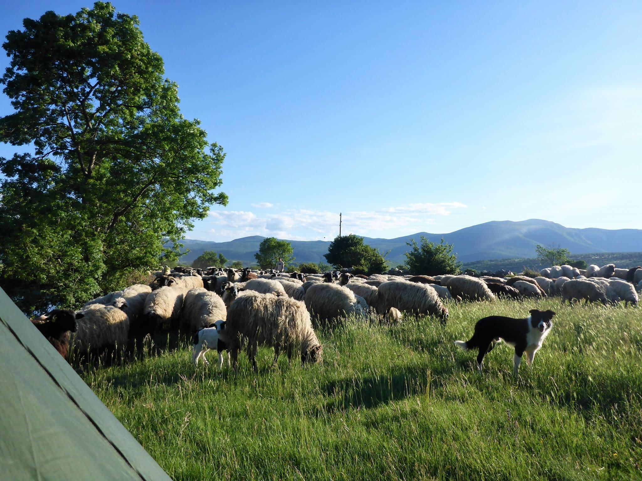 A force de compter les moutons pour s'endormir ceux -ci finissent par venir vous réveiller au matin