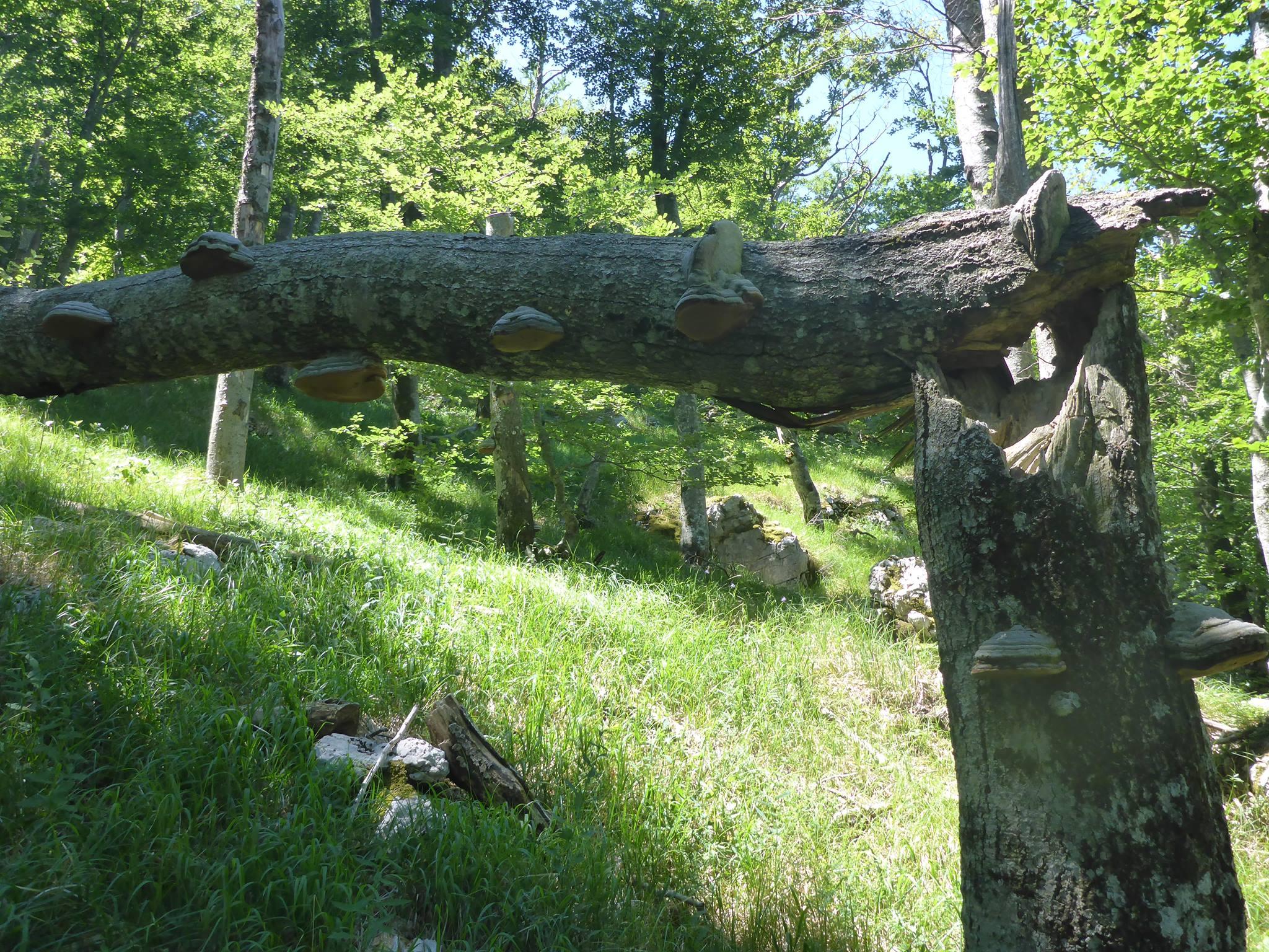 Un interressant cas d'amadouviers ayant poussé avant et après la tombée de l'arbre