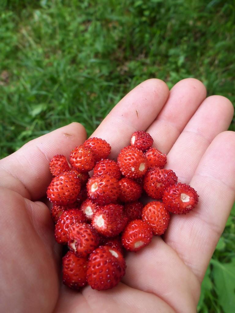 Mais heureusement les fraises des bois envahissent chaque recoin d'herbe